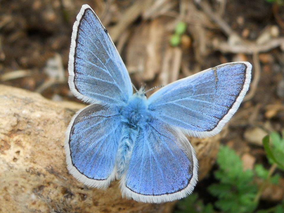 Alpine blue butterfly